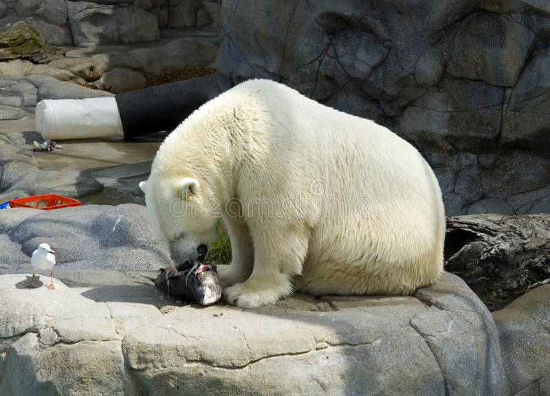 Download Polar Bear Stock Photo - Image: 22779960
