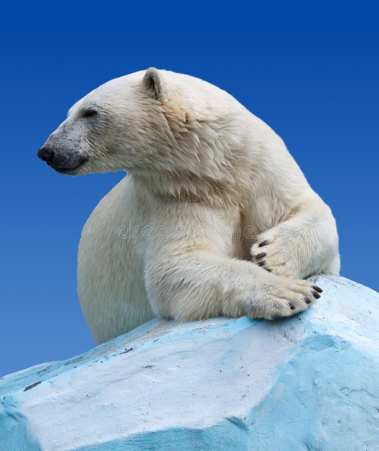 Download Polar bear stock photo. Image of marine, mammal, nature - 23213736