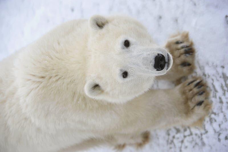 Polar Bear. royalty free stock photography