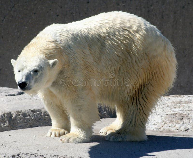 Download Polar Bear stock photo. Image of danger, power, large, bear - 255266
