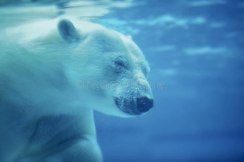 Download Polar Bear stock image. Image of carnivore, bear, animal - 25962777