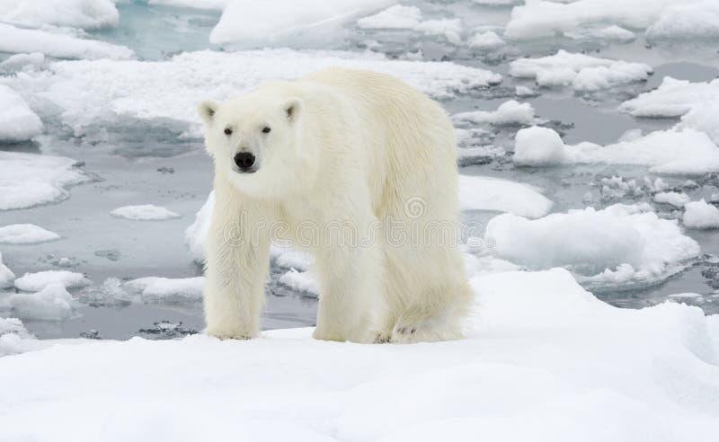 Polar Bear in icy winter landscape. stock photo