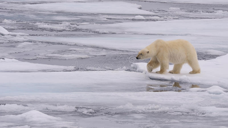 Download Polar Bear stock photo. Image of bear, cold, explorer - 26081026