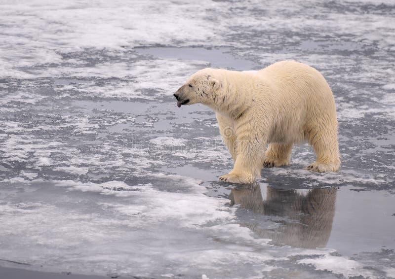 Download Polar Bear stock photo. Image of expedition, animal, world - 26081032