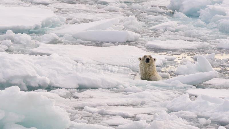 Download Polar Bear Royalty Free Stock Images - Image: 26081069