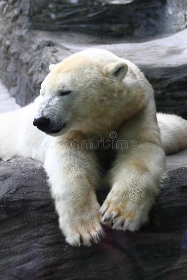 Download Polar bear stock image. Image of captive, hunt, habitat - 26960431