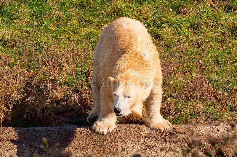 Download Polar bear stock image. Image of animal, mammal, dangerous - 27395945
