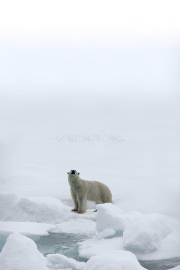Polar Bear. In the Arctic atanding on a ice floe on a foggy day