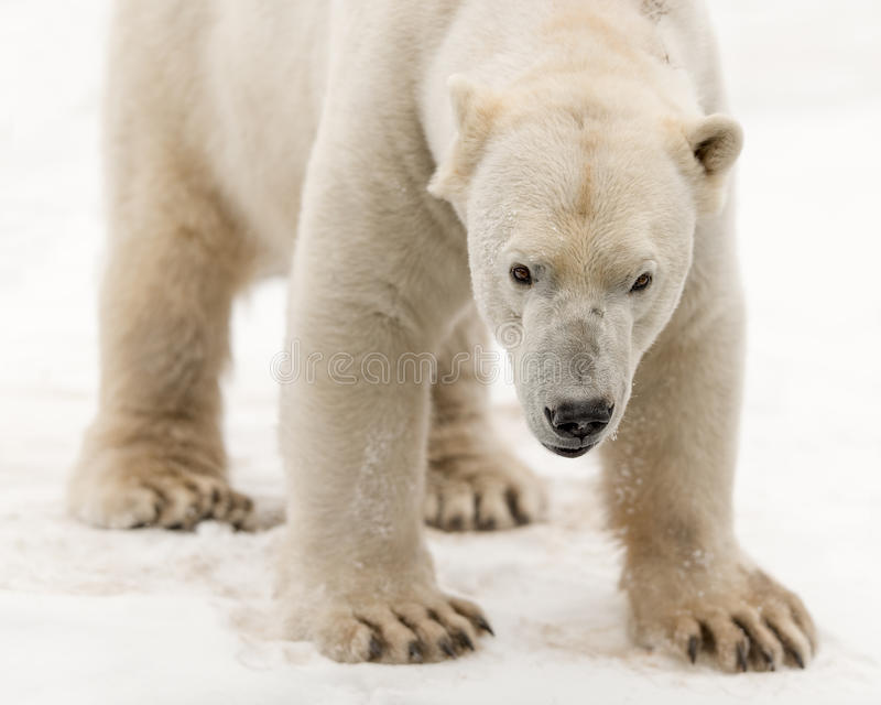 Polar bear. Male polar bear (Ursus maritimus) standing in the snow stock images