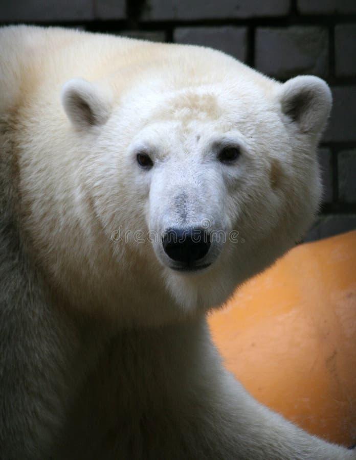 Free Polar Bear Stock Photography - 3407892