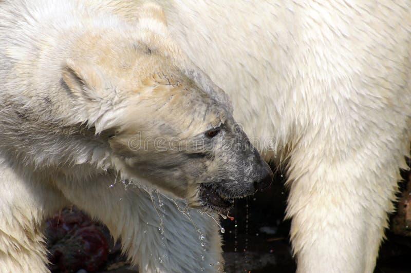 Download Polar Bear stock image. Image of dangerous, animal, beast - 7335873
