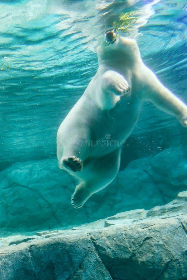 Polar Bear (Also known as Thalarctos Maritimus. Or Ursus Maritimus) swimming under water royalty free stock photo