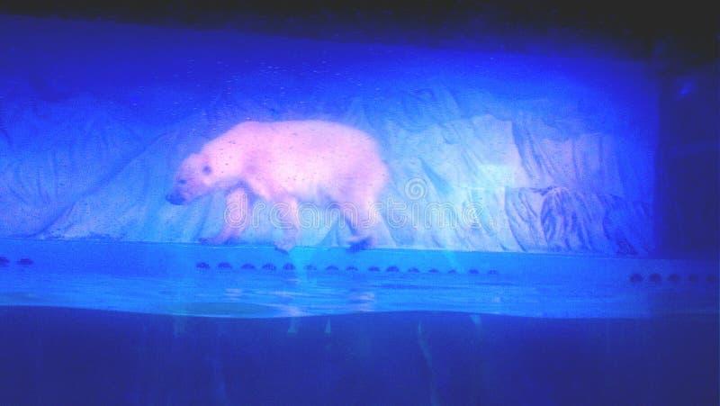 Polar Bear at Aquarium. In Guangzhou, China stock photography
