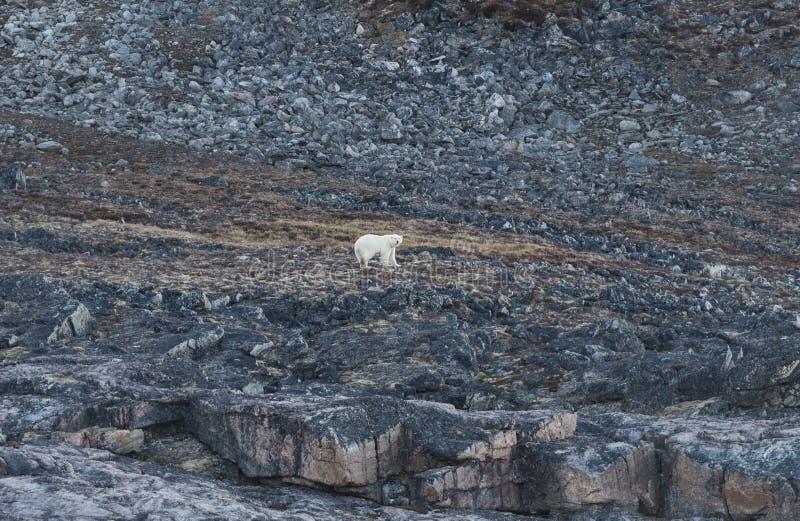 Polar Bear on an Arctic Coast stock photo