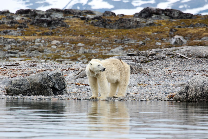 Polar bear on the arctic island stock photo