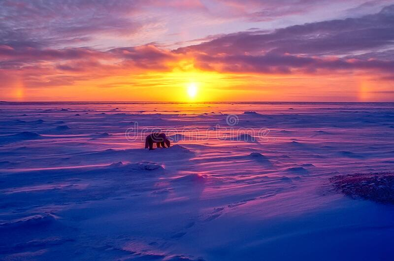 Polar bear in Arctic sunset. Polar bear at sunset in Canadian Arctic royalty free stock images