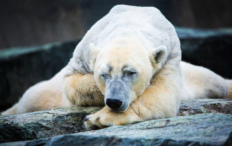 Polar bear asleep. White polar bear asleep on a stone stock photo