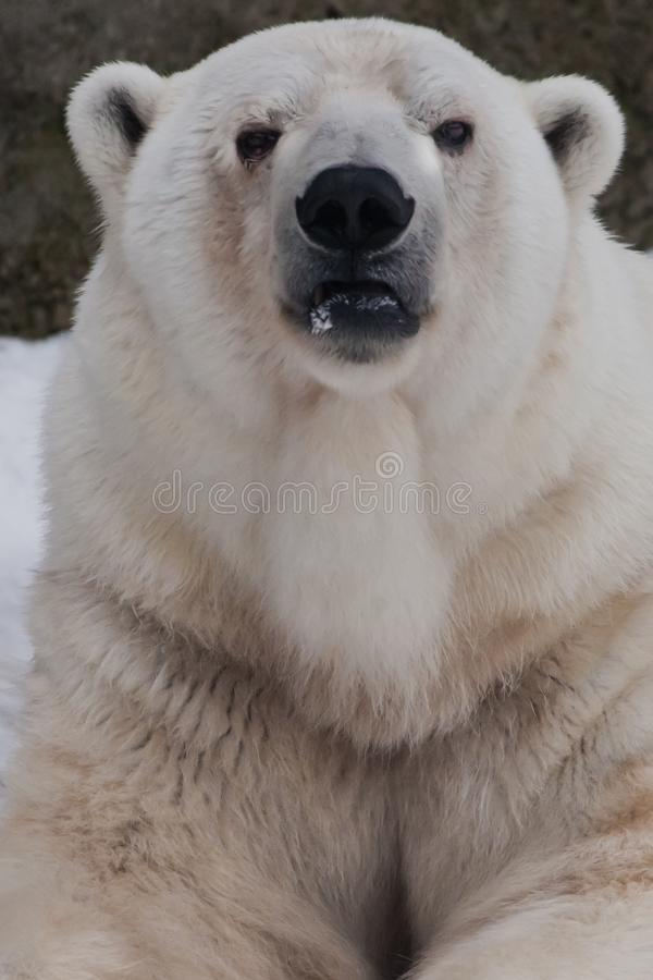 The polar bear attentively looks, sitting in the snow, a powerful arctic beast close-up. The polar bear attentively looks, sitting in the snow, a powerful stock photo