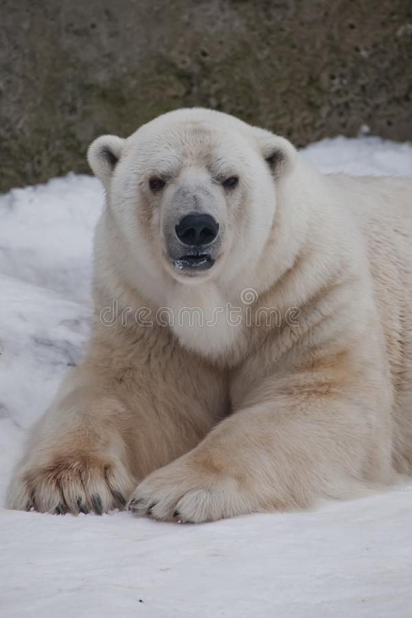 The polar bear attentively looks, sitting in the snow, a powerful arctic beast close-up. The polar bear attentively looks, sitting in the snow, a powerful stock images