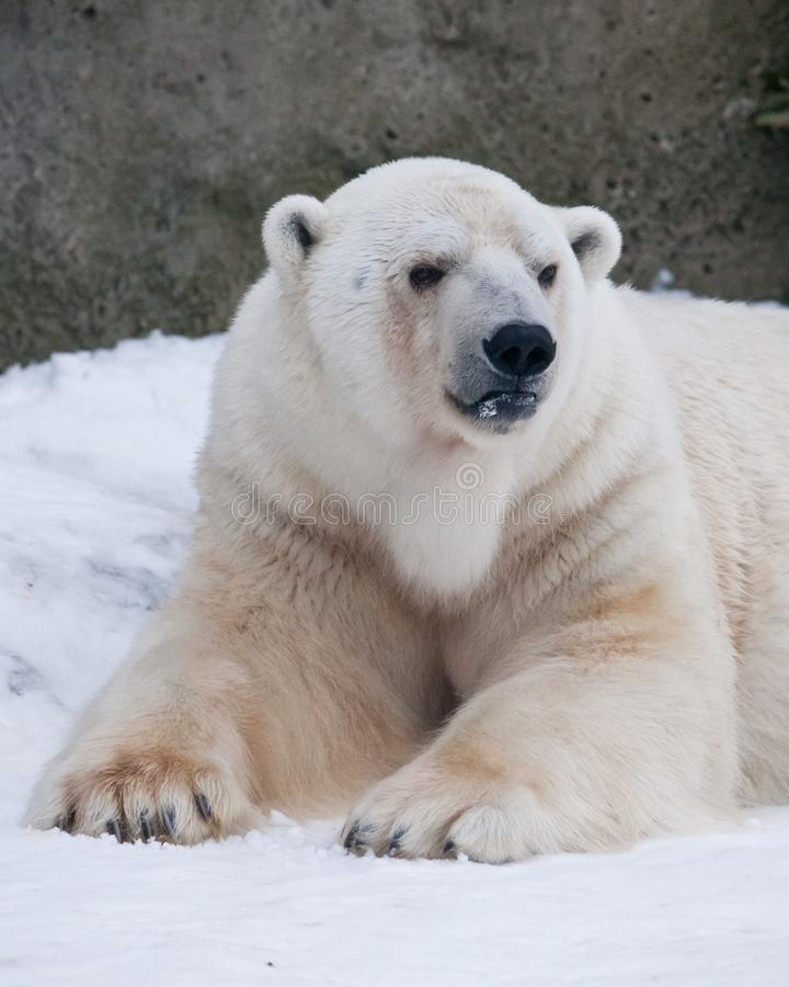 The polar bear attentively looks, sitting in the snow, a powerful arctic beast close-up. The polar bear attentively looks, sitting in the snow, a powerful royalty free stock image