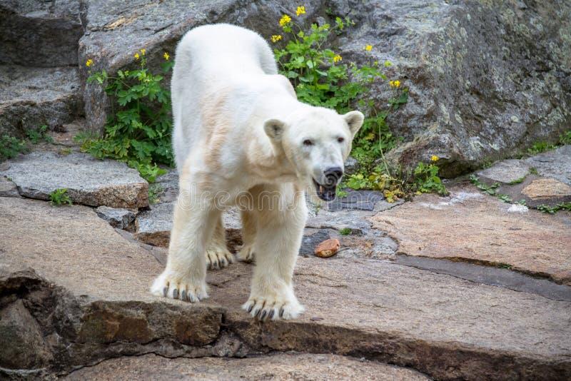 Polar Bear at the Berlin Zoo in Germany stock photo