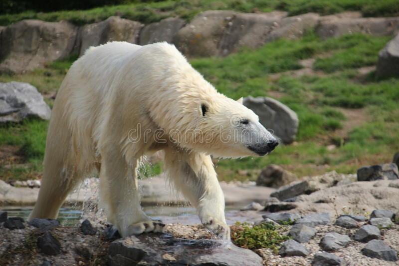 Polar Bear in the Rotterdam Zoo. Polar bear in the Blijdorp Rotterdam Zoo royalty free stock photography