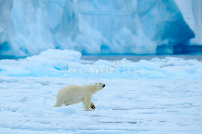 Polar bear with blue iceberg. Beautiful witer scene with ice and snow. Polar bear on drift ice with snow, white animal in the stock photography