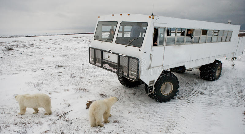 The polar bear came very close to a special car for the Arctic safari. Canada. Churchill National Park. stock images