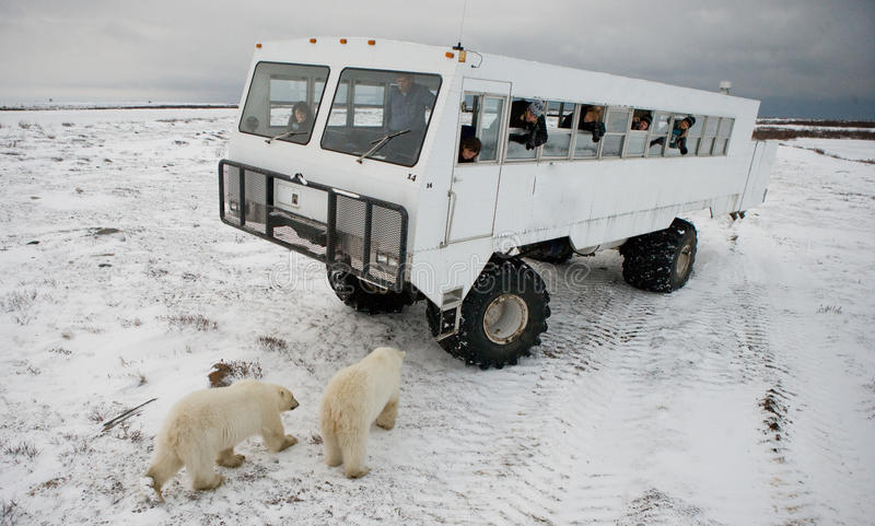 The polar bear came very close to a special car for the Arctic safari. Canada. Churchill National Park. royalty free stock photography
