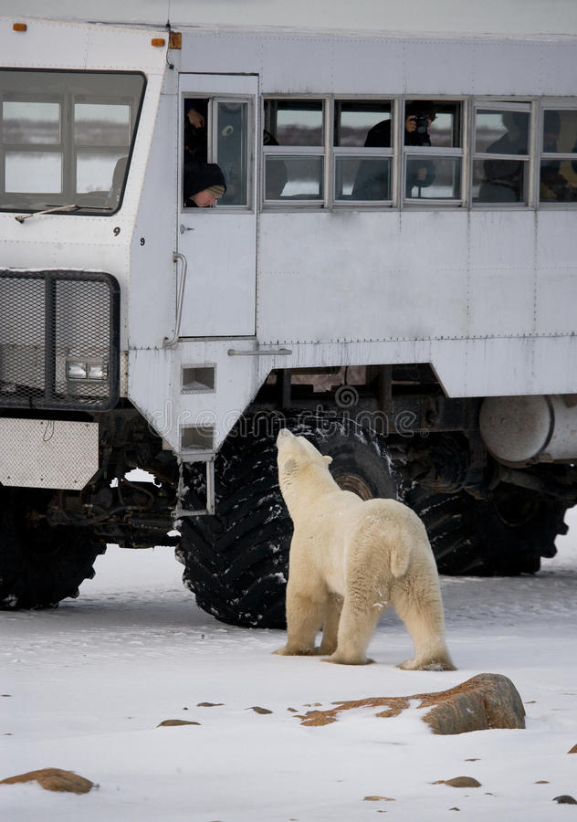 The polar bear came very close to a special car for the Arctic safari. Canada. Churchill National Park. An excellent illustration for travel agencies royalty free stock images