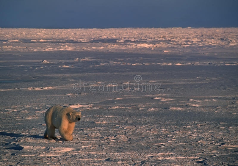 Download Polar Bear In Canadian Arctic Stock Photo - Image: 11011786