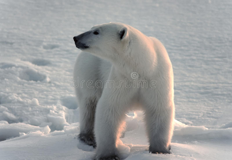 Download Polar Bear In Canadian Arctic Stock Photo - Image: 12042038