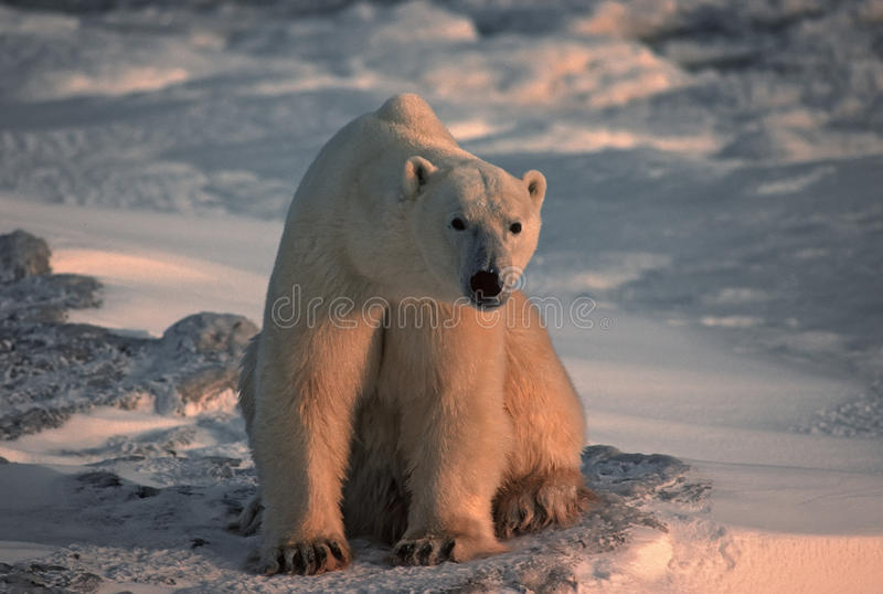 Polar bear in Canadian Arctic royalty free stock photo
