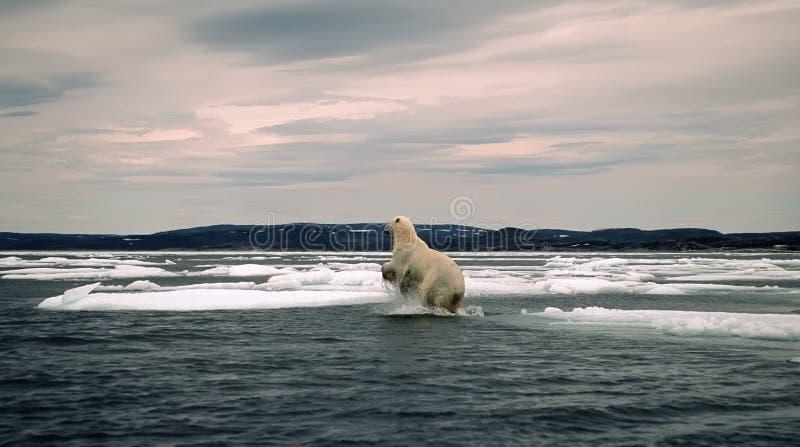 Polar Bear In Canadian Arctic Royalty Free Stock Photography