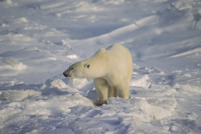Download Polar Bear In The Canadian Arctic Stock Image - Image: 6195365