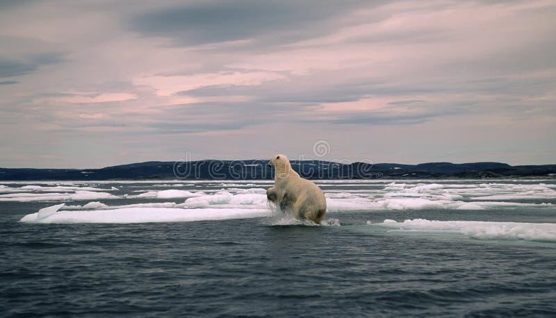 Polar bear in Canadian Arctic,spring breakup