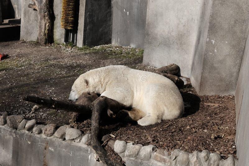 Polar bear in captivity stock photos