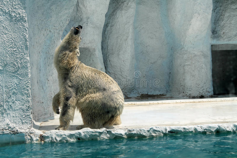 Polar bear in captivity stock image