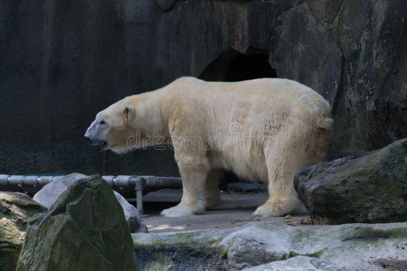 Polar bear in captivity royalty free stock photography