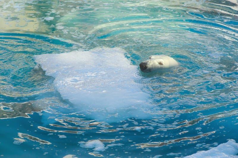 Polar bear comes up from under the water. Ursus maritimus or Thalarctos Maritimus stock photos