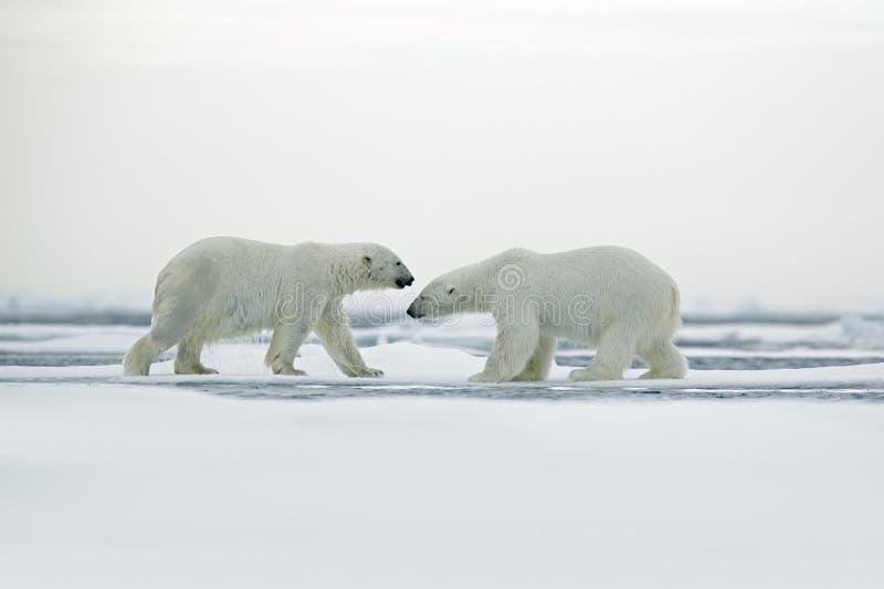 Polar bear couple cuddling on drift ice in Arctic Svalbard stock images