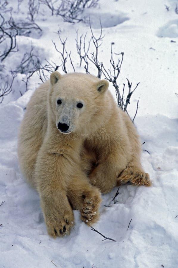 Download POlar bear cub stock photo. Image of nature, wildlife - 16368478