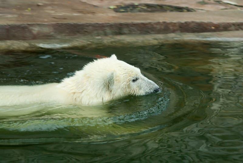 Download Polar bear cub stock image. Image of wildlife, animal - 18775183