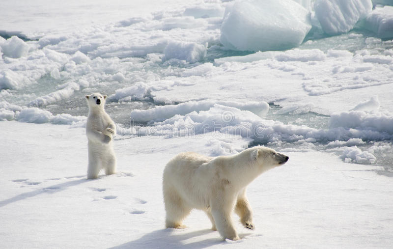 Download Polar Bear And Cub Stock Image - Image: 28734941