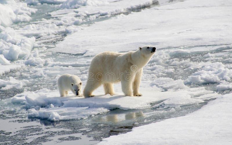 Polar bear and cub. Mother polar bear and her cub negotiate broken ice flows