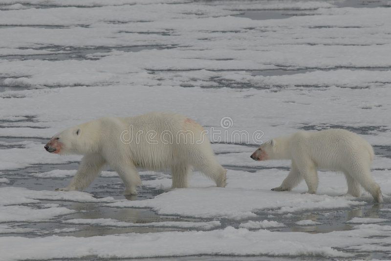 Polar Bear with cub. On the ice Spitsbergen, Arctic 2006 royalty free stock photography