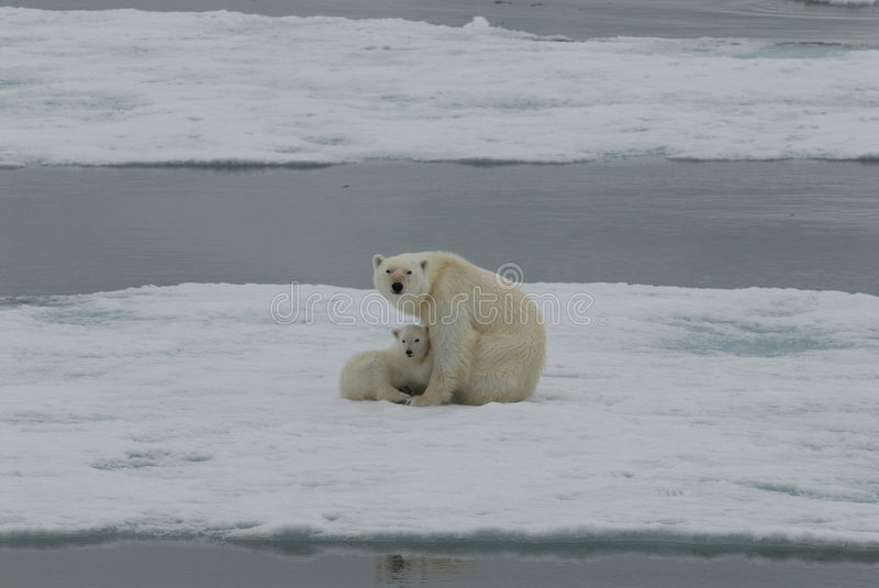 Download Polar Bear with cub stock image. Image of expedition, arhipelago - 2902153