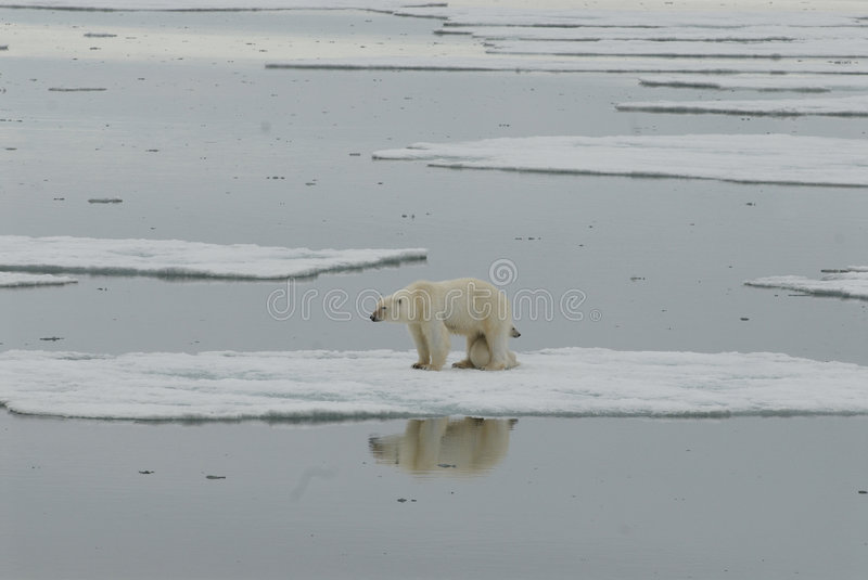 Polar bear with cub royalty free stock photography