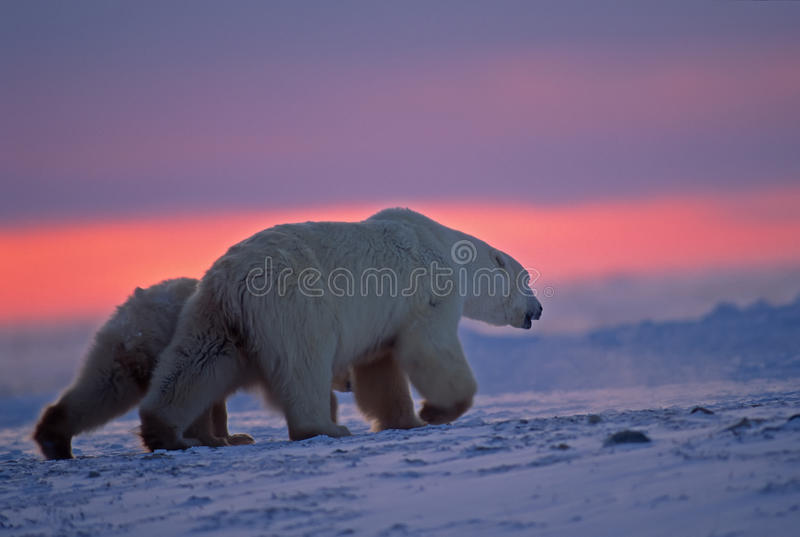 Download Polar Bear And Cub In Arctic Sunset Stock Photo - Image: 14951614
