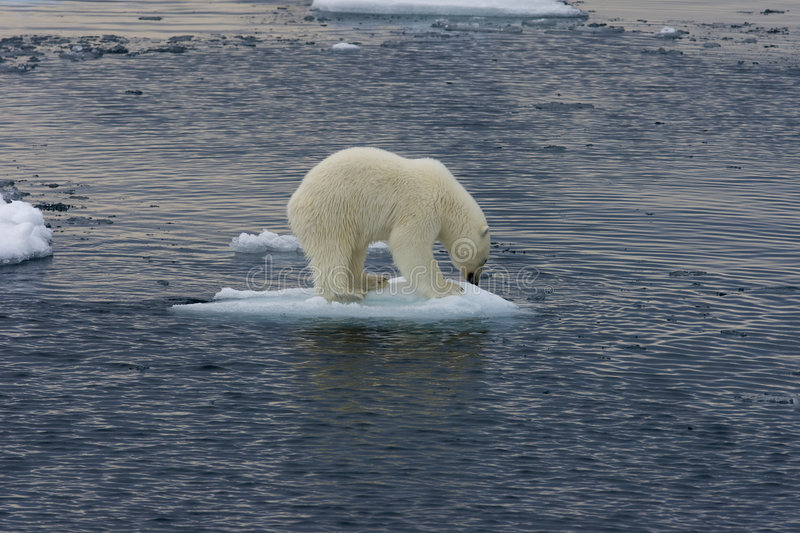 Polar bear cub floating before jump 2